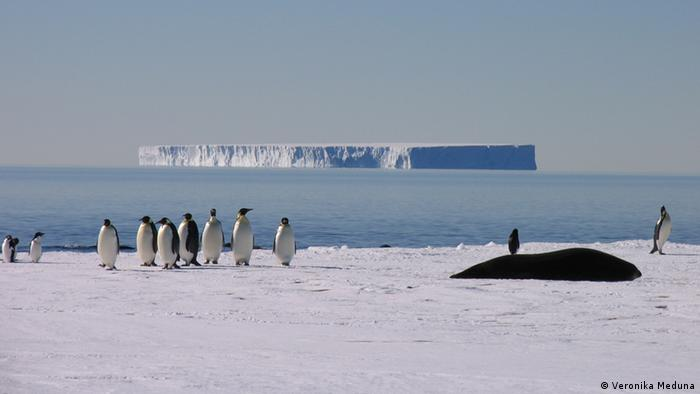 Emperor and Adelie penguins and a Weddell seal at the edge of Antarctica's sea ice (Photo: Veronika Meduna)