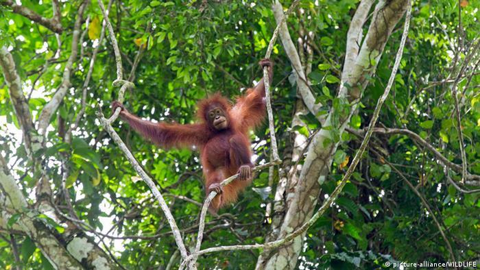 Indonesien Borneo Orang-Utan Regenwald