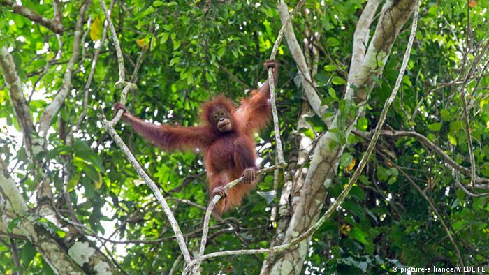 Indonesien Borneo Orang-Utan Regenwald (picture-alliance/WILDLIFE)