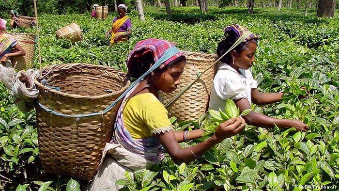 Colheita de chá em uma plantação no oeste da Índia.