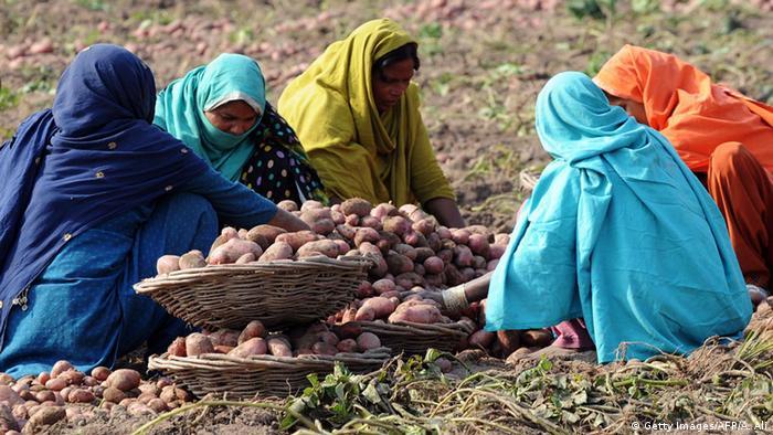 Pakistani women work in a potato field in Lahore