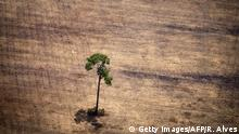ARCHIV 2014 **** Bildunterschrift:View of a tree in a deforested area in the middle of the Amazon jungle during an overflight by Greenpeace activists over areas of illegal exploitation of timber, as part of the second stage of the 'The Amazon's Silent Crisis' report, in the state of Para, Brazil, on October 14, 2014. According to Greenpeace's report, timber trucks carry at night illegally felled trees to sawmills, which then process them and export the wood as if it was from a legal origin to France, Belgium, Sweden and the Netherlands. AFP PHOTO / Raphael Alves (Photo credit should read RAPHAEL ALVES/AFP/Getty Images) Copyright: Getty Images/AFP/R. Alves