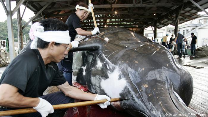 Japan kills 333 whales in annual Antarctic hunt, flouting international laws | News | DW | 31.03.2017