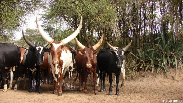 Foto Ankole Rinder in Uganda