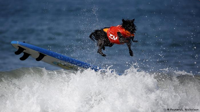 USA Hund-Surfing Wettbewerb Huntington Beach Kalifornien