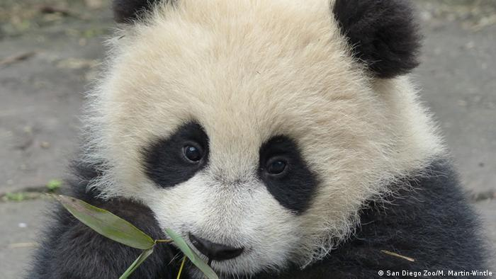 Giant panda cub at CCRCGP research center Sichuan, China Photo: San Diego Zoo/M. Martin-Wintl