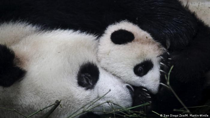 Giant panda mother with her cub at CCRCGP research center Sichuan, China Photo: San Diego Zoo/M. Martin-Wintl