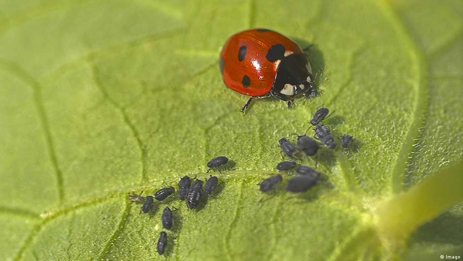 relationship between aphids and ladybugs pictures