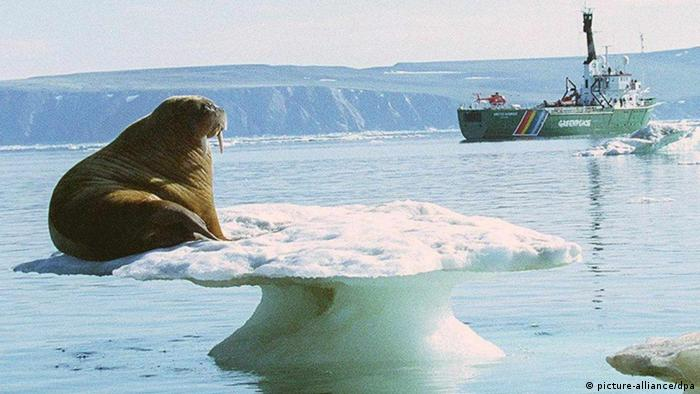 An aging walrus sits on a thin, melting platform of ice as it views from a distance a Greenpeace expedition vessel