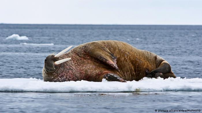 Walross Eisscholle Norwegen Spitzbergen (picture-alliance/dpa/McPHOTO)