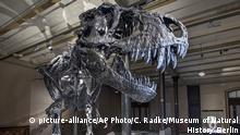 Tyrannosaurus rex Skelett in Berlin (picture-alliance/AP Photo/C. Radke/Museum of Natural History Berlin)