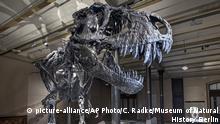Tyrannosaurus rex Skelett in Berlin