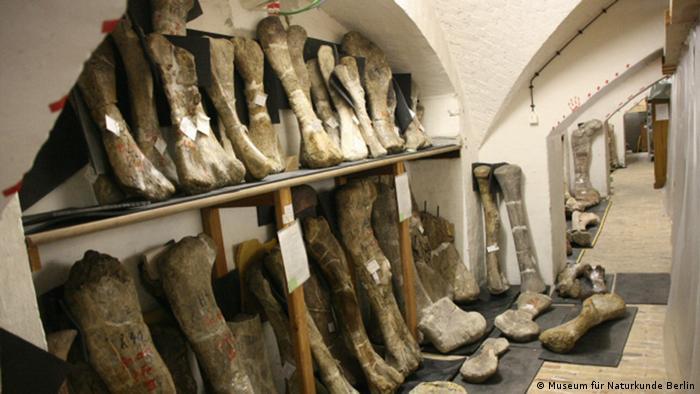 Кости диназавров в Музее естествознания