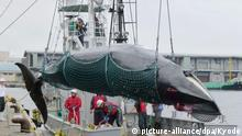 A minke whale is caught and landed in Kushiro, Hokkaido (picture-alliance/dpa/Kyodo)