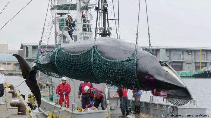 A minke whale is caught and landed in Kushiro, Hokkaido