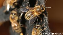 Aggressive Honigbiene