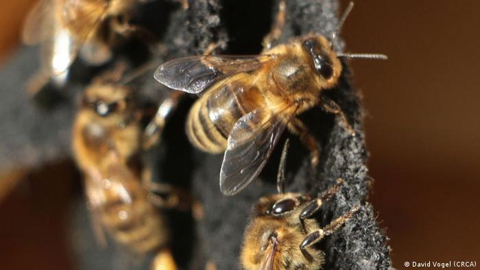 aggressive honeybees Photo: David Vogel (CRCA)
