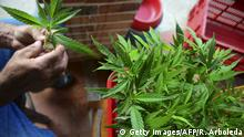 Bildunterschrift:A man checks marijuana plants at Sabaneta municipality, near Medellin, Antioquia department, Colombia on November 23, 2015. Colombian engineers Jorge Montoya and Mauricio García, founded Cannalivio, a pioneer company in the country for the development, production and research of products derived from medicinal plants and therapeutic use. Nine years ago, working in the medicinal use of cannabis with patients with terminal illnesses, such as seizures, chronic pain, cancer, epilepsy, multiple sclerosis, HIV, among others, to provide a better quality of life. Getty Images/AFP/R. Arboleda