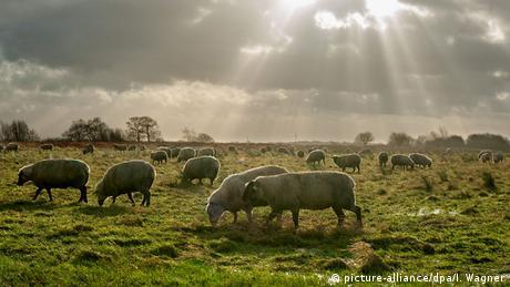 Niedersachsen Ihlowerfehn Schafe auf einer Weide