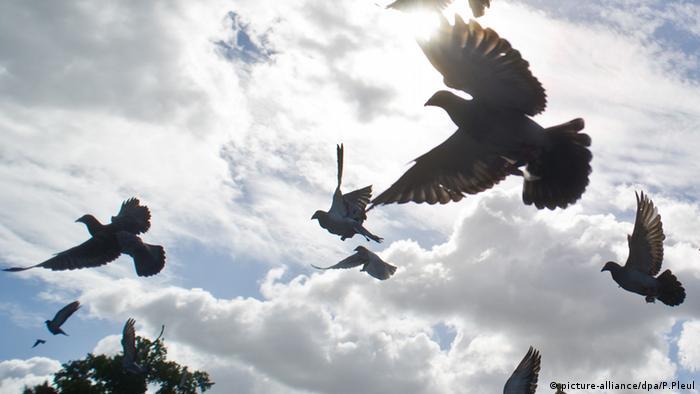 Brieftauben Himmel Sonne Fliegen (picture-alliance/dpa/P.Pleul)
