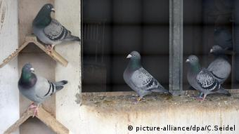 Pigeons in west Germany