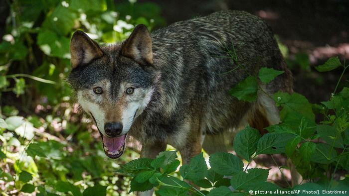 Tiere Wolf in Sweden