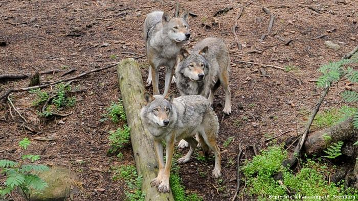Three wolves stand on a hillside
