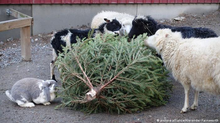 Sheep and a rabbit nibble away at a Christmas tree