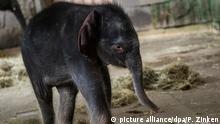 Deutschland Neugeborenes Elefantenbaby im Tierpark Berlin
