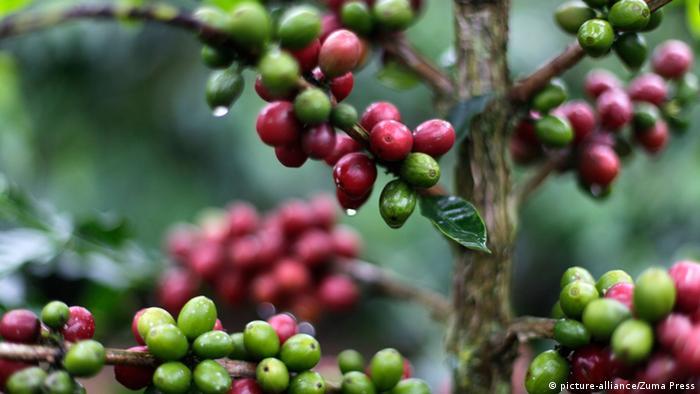 Kolumbien Kaffeanbau (picture-alliance/Zuma Press)
