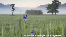 Deutschland Sibirische Schwertlilie
