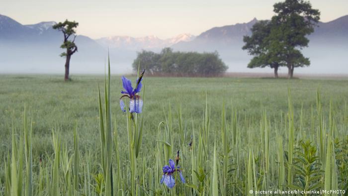 Сибирский ирис на болоте в баварской общине Мурнау
