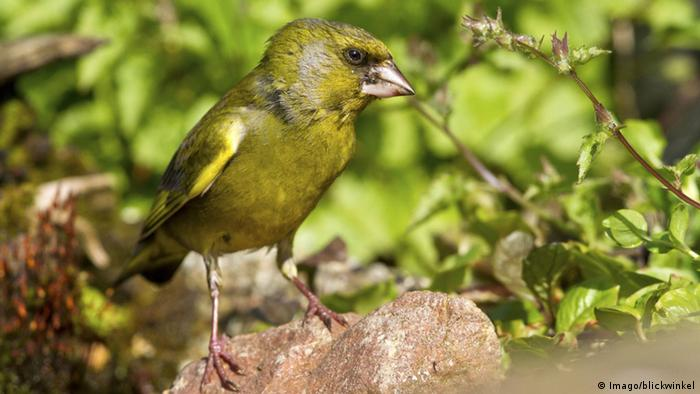 Greenfinch sitting on a stone. (Photo: Imago/blickwinkel)