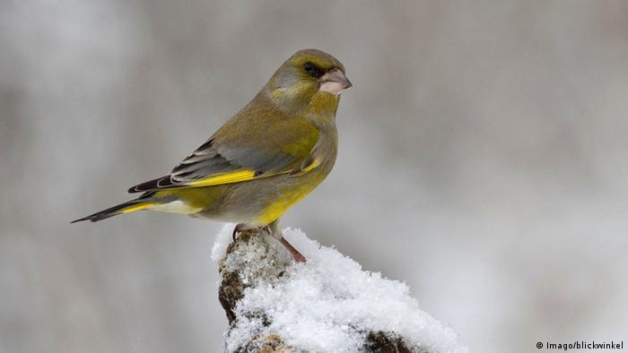 Las patas de los pájaros, como las de este verderón, apenas miden dos milímetros de ancho. Si a nosotros ya se nos congelan los dedos de las manos y de los pies con estas temperaturas bajo cero, ¿cómo lo soportan estos pájaros?
