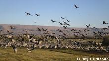 Israel, Vögel im Hula Valley