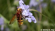 Hoverfly on a flower (NABU/ H. May)