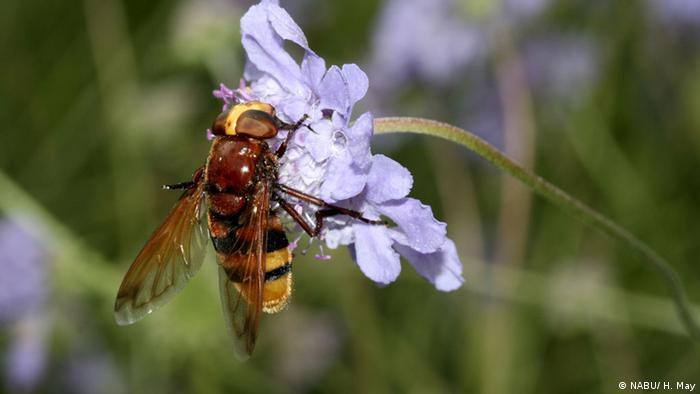 NABU Insekten Hornissen-Schwebfliege