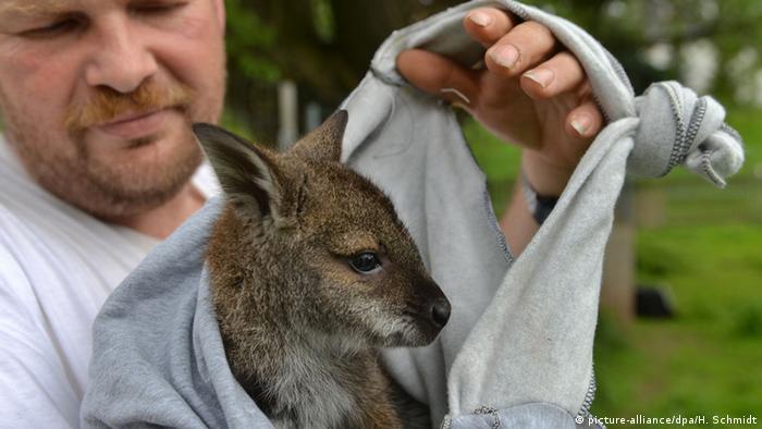 Детеныш кенгуру в тряпичной сумке