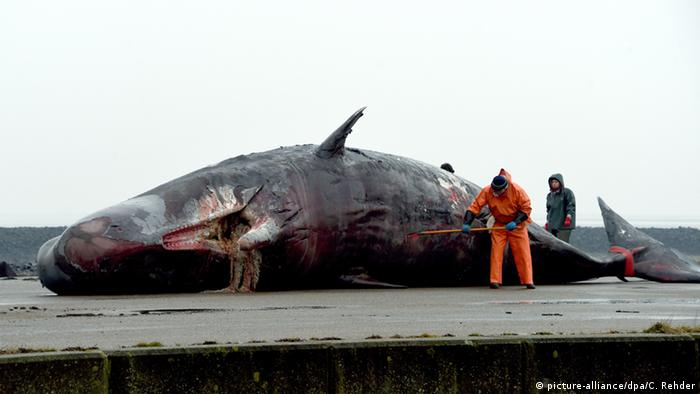 Beached sperm whale Photo: picture-alliance/dpa/C. Rehder
