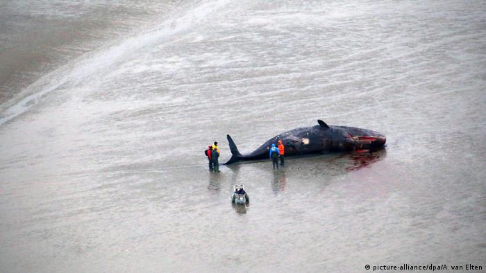 beach sperm whale Photo: picture-alliance/dpa/A. van Elten