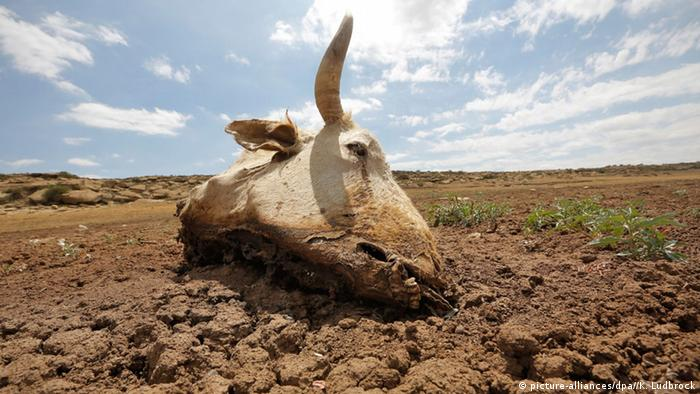 The skull of a dead steer lies on eroded soil
