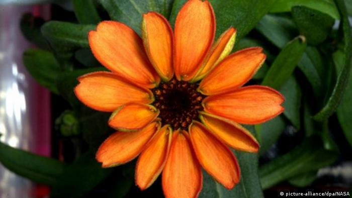 Raumstation ISS Weltraum-Blume Zinnie