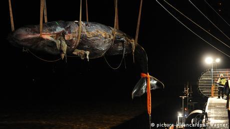 Wal Pottwal Kadaver Niederlande Zerlegung