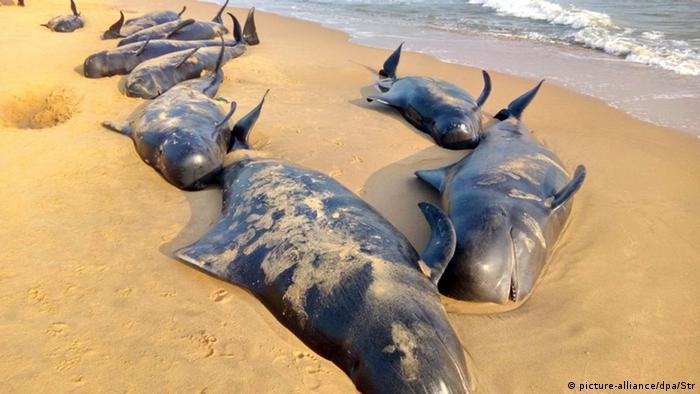 Indien, gestrandete Wale