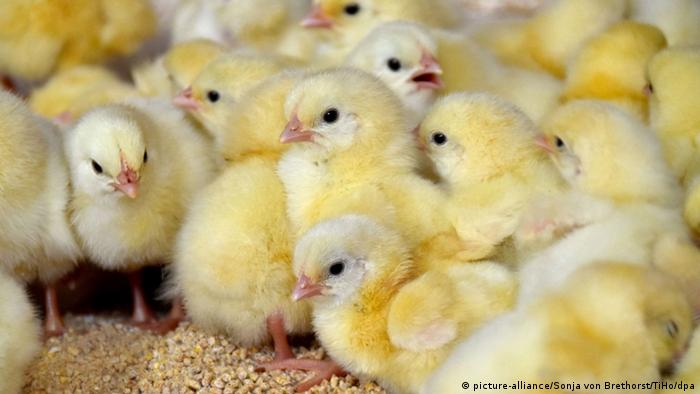 BdT Projekt für mehr Tierwohl Studenten testen halbe Hähnchen