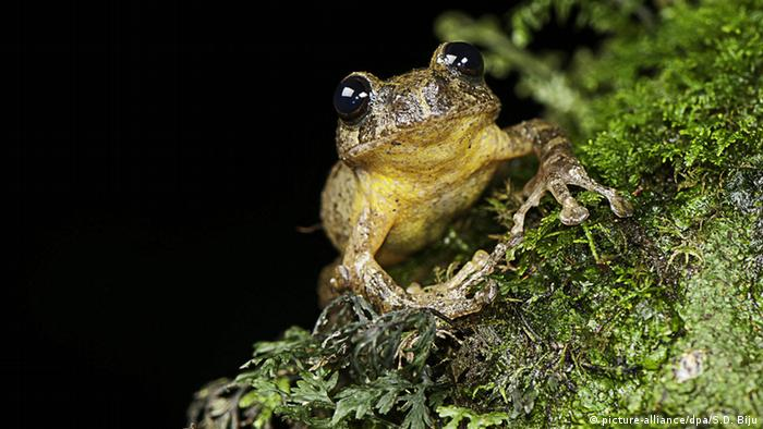 Frog rediscovered in north-eastern India (Picture: picture-alliance/dpa/S.D. Biju)