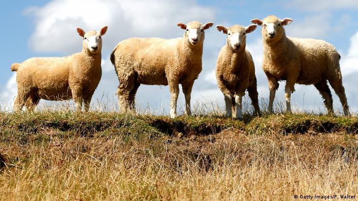 Neuseeland Schafe (Getty Images/P. Walter)