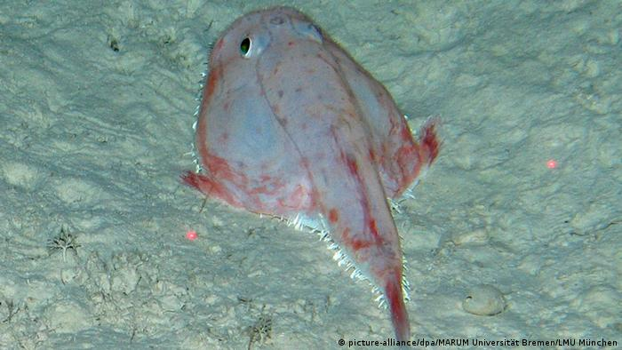 A pale pinkish fish lies on the ocean floor. It is flat and wide with two round eyes and a long, narrow tail.