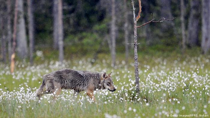 Finnland Wolfsjagd