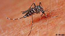 Tropische Tigermücke Aedes albopictus